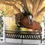 Horse Warmblood