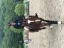 Horse Dutch Warmblood